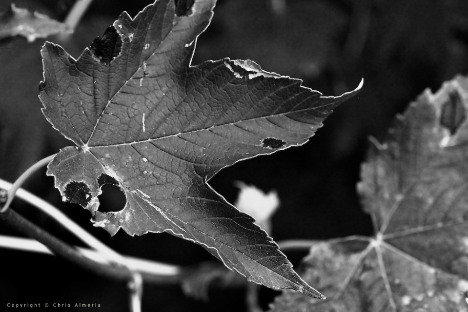 Black and White Picture of a Dying Leaf